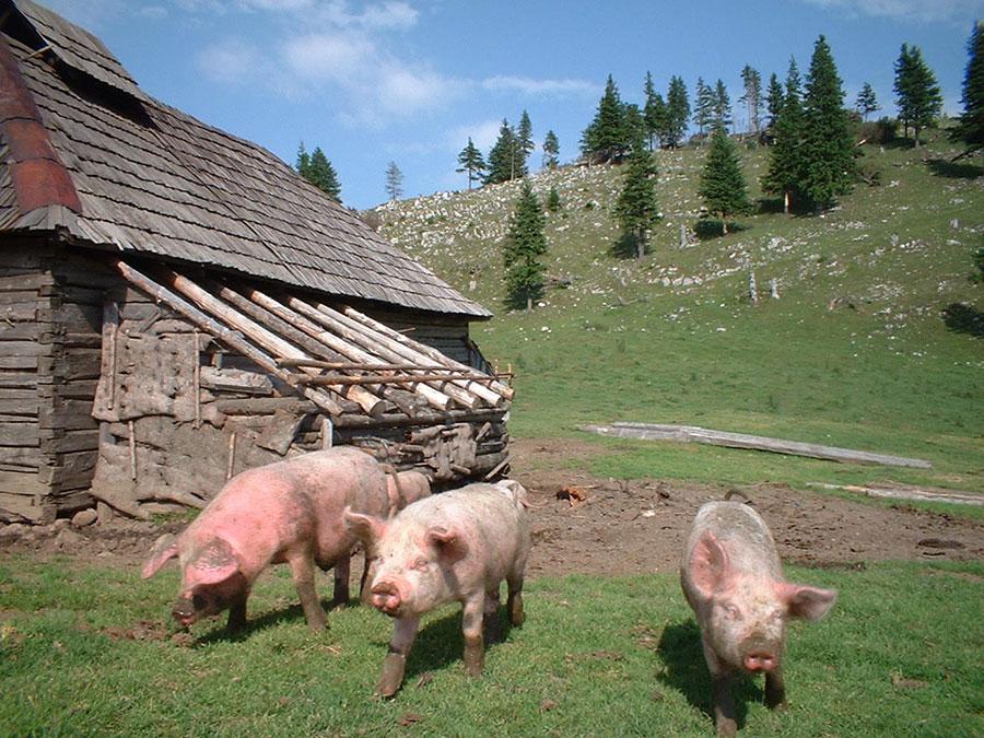 """Cei care creșteau porci era încurajați pentru """"cei mai frumoşi şi mai bine îngrijiţi""""."""