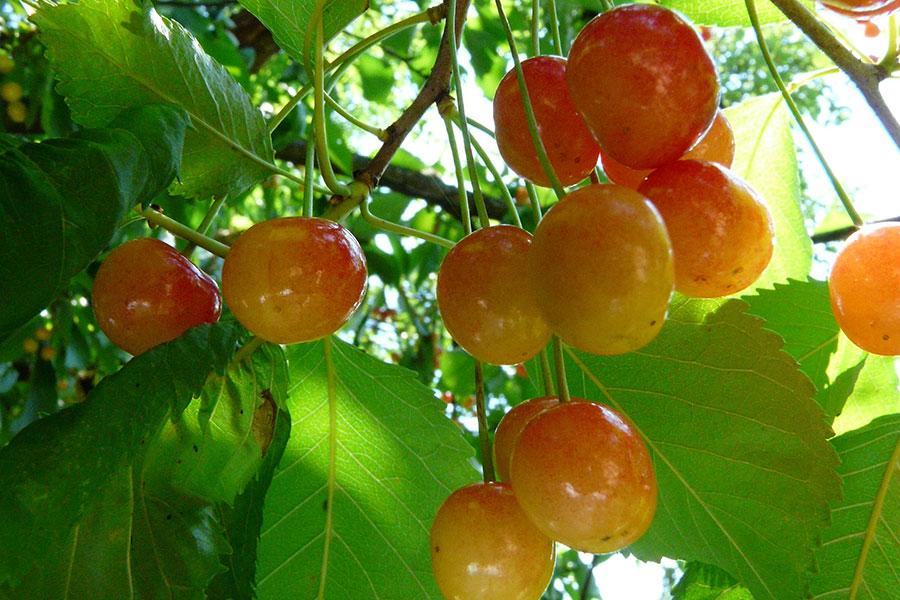 Cu fructe mari, pietroase şi cărnoase, ori galbene, moi şi zemoase