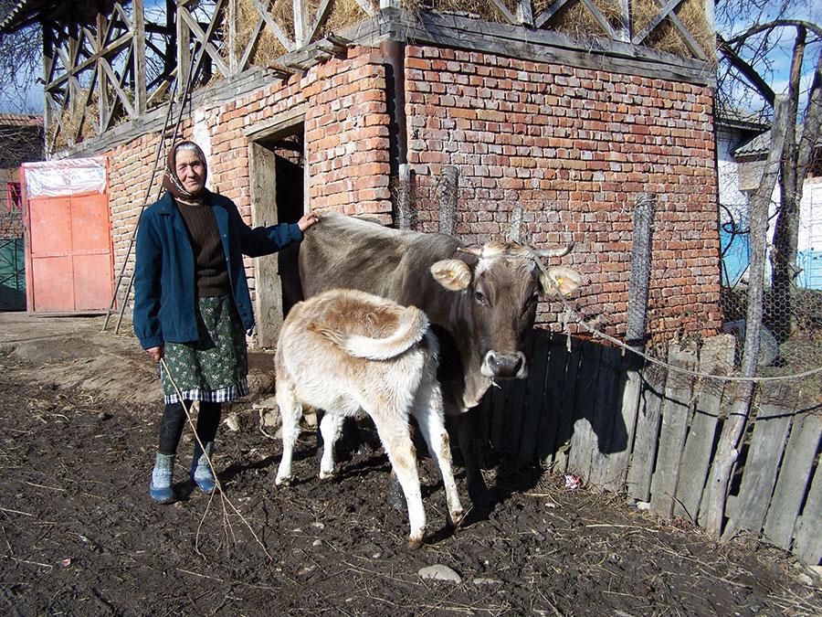 Crescătorii de bovine pot solicita acordarea cotei de lapte