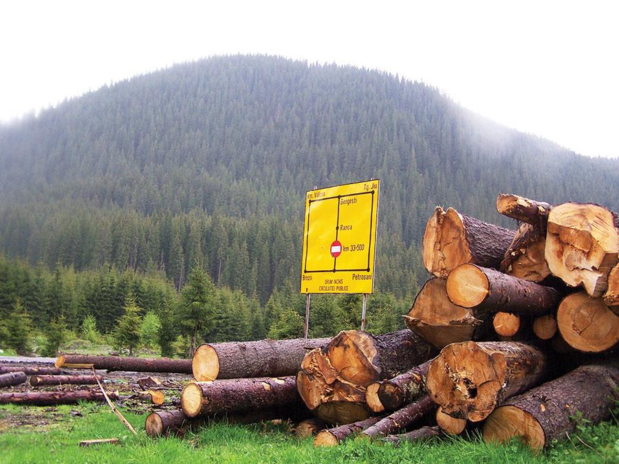 Molizii din Obârșia Lotrului au fost tăiați pe zeci de hectare și lemnul declasat pe motiv de atac de goange