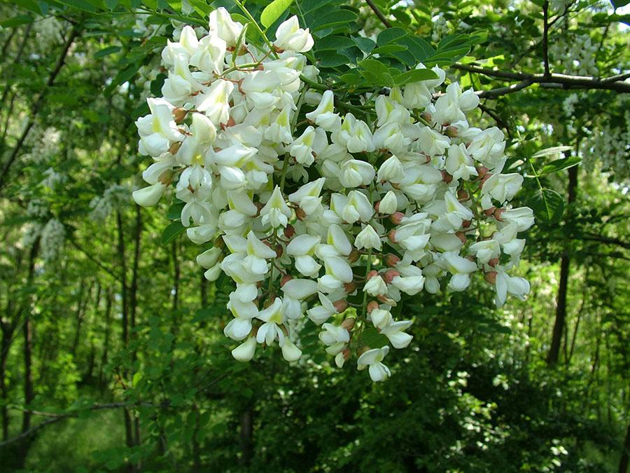 Florile de salcâm oferă un spectacol grandios