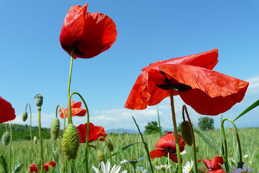 Florile de mac rămân unele dintre bucuriile naturii în această perioadă