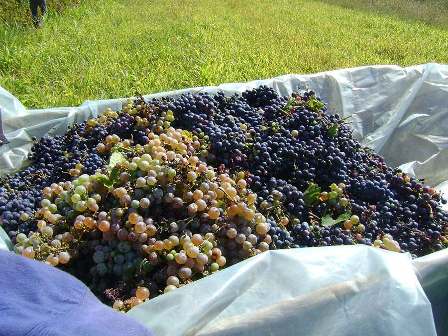 Strugurii strânși cu atâta sudoare se vor transforma în vin