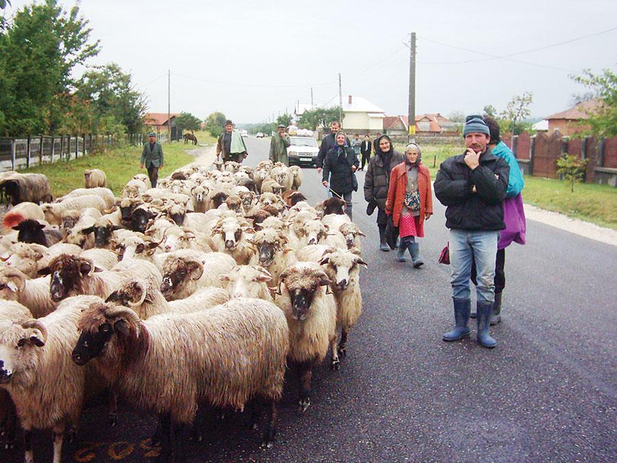Proprietarii de oi sunt în așteptare, pentru a vedea dacă legea va fi sau nu aplicată din 2014