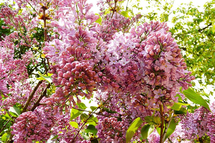 Culoarea violet înveleşte cornetele cu miracolul şi zămislirile ei de frumuseţe şi energie, cu trăiri ritualice și măreție