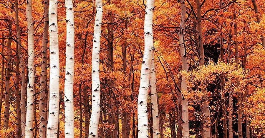 Surâsul pădurii de mesteacăn rămâne în sufletul nostru, ca o fascinantă privelişte de toamnă.