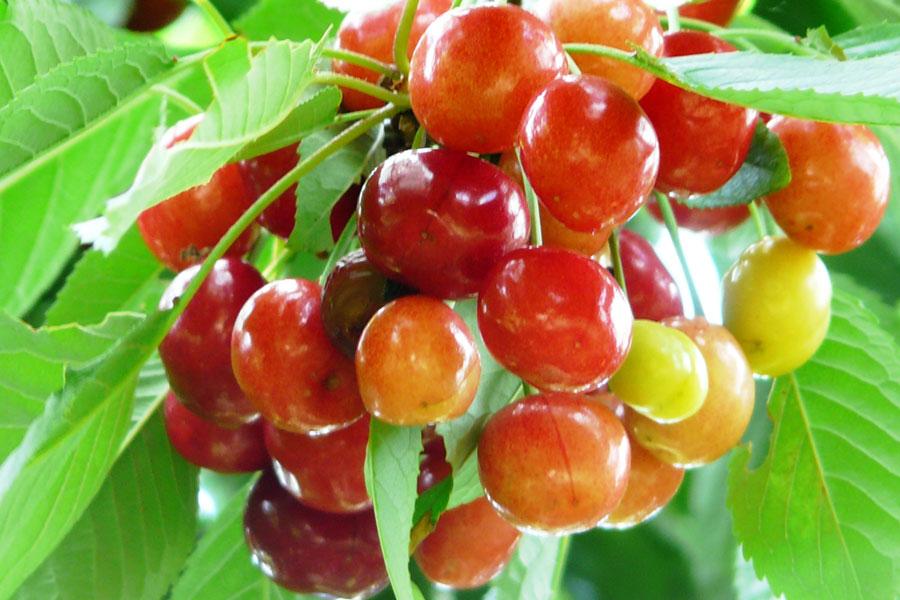 Cireşul din grădina amintirilor şi fructele lui de basm